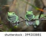 waxy monkey leaf frog ...