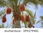 Ripening Dates Hanging From A...