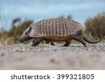 Armadillo Close Up Portrait In...