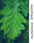Green Leaf Of Oak Covered By...