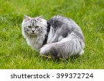 Persian Cat On Grass In Sunshine