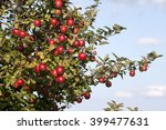 Red Apple On Tree