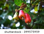cashew fruit  anacardium... | Shutterstock . vector #399575959