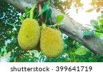 Many Jack Fruits On Tree Bunch...