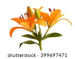 Orange Day Lily Flower Isolate...