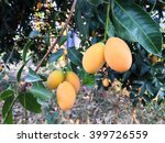 Bunch Of Mango Plum Or Gandari...