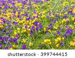 Small photo of Crocus (Purple vernus and yellow chrysanthus) inlarge open display.