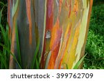 Painted Eucalyptus Tree On The...