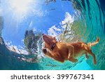 Stock photo underwater photo of golden labrador retriever puppy in outdoor swimming pool play with fun 399767341