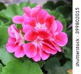 Beautiful Geranium Flower