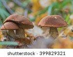 Mushroom Family Of Red Boletus...