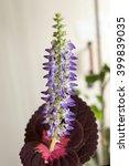 Small photo of flower Coleus