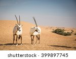 Arabian Oryxes In A Desert Nea...