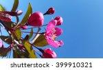 Pink Crabapple Tree Flower...