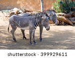 Small photo of The pair of zebras Zebra â?? mammal genus of the horses. Widespread in South-Eastern Africa. Color is typical for zebras, consists of alternating light bands on a dark background.