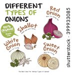 different types of onions   Shutterstock .eps vector #399933085
