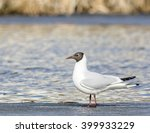 Common Black Headed Gull...