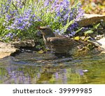 Young Starling Bathing In A Pond
