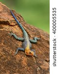Small photo of Red-headed Rock Agama - Agama agama, Tsavo East, Kenya