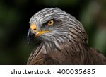 Ferruginous Hawk   Portrait