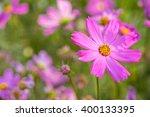 Pink Cosmos Flowers Blooming