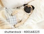 Pug Dog Lying In Bed Under...