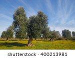 Olive Trees  Apulia  Italy