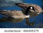 Two Canada Geese Swimming In A...