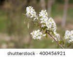 Small photo of Amelanchier canadensis in bloom in spring