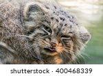 Pallas 's Cat Portrait Cat Has...