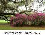 Azalea Bushes And Oak Trees