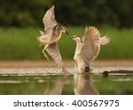 Two Night Herons  Nycticorax...