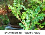 Small photo of Thai herb,Sea holly leaves (Acanthus ebracteatus)