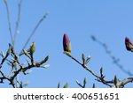 Magnolia  Magnolia Grandiflora...