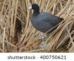 Small photo of American Coot (Fulica americana) Standing on Dead Cattails in a Florida Wetland