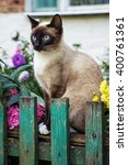 Beautiful Siamese Cat On The...