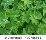 Small photo of Lady's mantle (Alchimilla) green leaves with drops of water