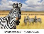 zebra on grassland in africa ... | Shutterstock . vector #400809631