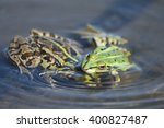 Two Green Frogs In The Shallow...