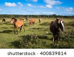 New Forest Ponies On A Green...