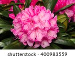 Beautiful Pink Rhododendron In...