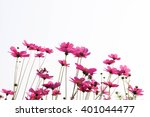 Pink Cosmos Flowers Isolated O...
