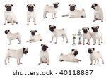 Many Pugs  Sitting  Standing...