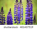 Spring Close Up Lupine Flowers...