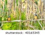 kingfishers  alcedo atthis    Shutterstock . vector #40165345