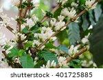 coffee flower blooming on tree | Shutterstock . vector #401725885