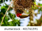 Red Headed Weaver Bird Nest...