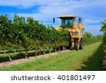 Harvesting Grapes In A Vineyar...