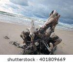 old big pine root on beach... | Shutterstock . vector #401809669