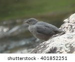Small photo of Ouzel (American Dipper)